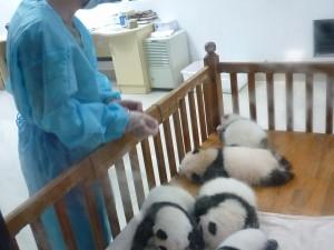 Pandas-2013-Qigong-study-tour-simonblowqigong.com